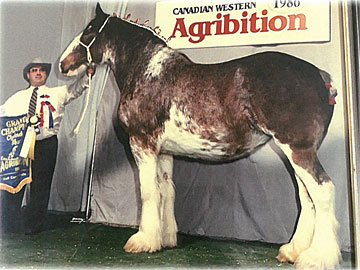 Greg Gallagher exhibiting the Grand Champion Clydesdale mare at Canadian Western Agribition